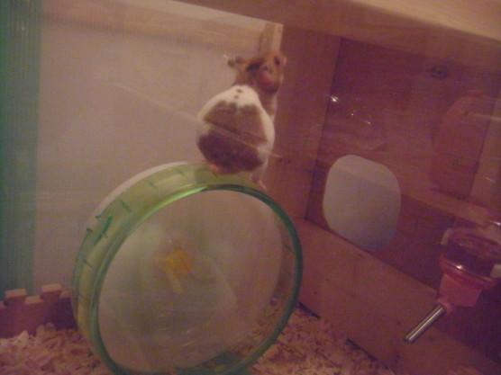 hamster0017